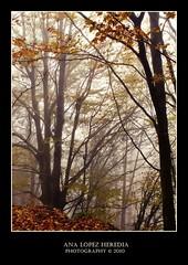 Hayedo del Montseny (1/3) (Ana Lpez Heredia) Tags: barcelona autumn espaa naturaleza color luz nature paisaje bamboo otoo wacom catalua pentablet konicaminolta montseny instantes dimagez5 fagussylvatica konicaminoltadimagez5 hayedo bamboowacom analpezheredia