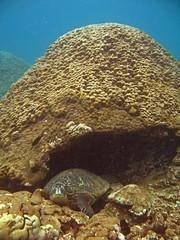 back door (bluewavechris) Tags: ocean life blue sea brown green water coral hawaii marine underwater snorkel head turtle sleep reptile dive shell maui reef creature flipper
