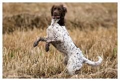 Small munsterlander looking sharp during hunting (bo foto) Tags: dog dogs honden munsterlander olthof dogpic hondenportret hondenfotograaf hondenfotografie ldlportraits smallmunsterlanderheidewachtelhuntinghuntjachtjagennikond300bofotoboudewijn highqualitydogs