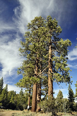 Magestic Jeffrey Pines (jan lyall) Tags: trees oregon forest pinecones bigbear magestic jeffreypine sanbernadinomountains