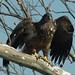 eagle 605