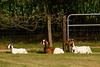 Mr. Dougherty's Goats (Fred Watkins (kg4vln)) Tags: kg4vln nikon d5500 300mm zoom 11250sec f10 iso640