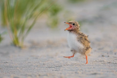 Common Tern Chick (nikunj.m.patel) Tags: tern chick commontern wildlife nature birds avian summer beach shore outdoor animals feather nest dunes fish ocean bay nikon naturephotography photography cute cutness