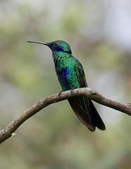Sparking Violetear ---- Colibri coruscans (creaturesnapper) Tags: hummingbirds birds ecuador southamerica puembo sparkingvioletear colibricoruscans
