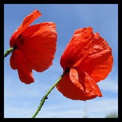 Duel de Coquelicots (Esteban 86360) Tags: coquelicot coquelicots rouge red flore fleur flower jardin france montamisé nature vienne poitou tige pétale colors bleu blue sky ciel puceron