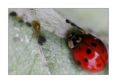 I'M On My Way! (paulinecurrey) Tags: ladybug horley surrey garden outdoors aphids insects nature natural