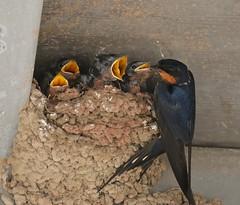 Mud and Bugs... (Slow Turning) Tags: hirundorustica barnswallow birds adult nestlings nest young chicks babies gape beaks five summer southernontario