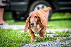 DSC_0032 (LilGoose10) Tags: dog pet basset hound animal nikon d500