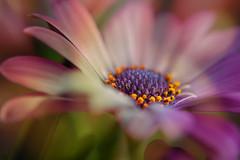 Flower Power Flower (Wim van Bezouw) Tags: flower gerbera colour color plant nature sony ilce7m2