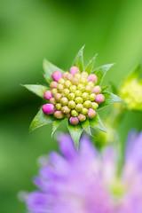 Knautie (Conrad Zimmermann) Tags: flora flore macro randonnée saison suisse switzerland attalens vaud ch