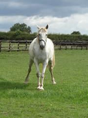 Legs Akimbo! (Glass Horse 2017) Tags: nyorks appletonwiske farm field white grey horse peeing caughtshort ungainlystance