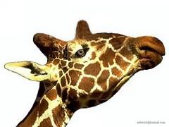 Girafe - Giraffe (4) (artiste24artiste241) Tags: girafe safari jungle sauvage zoo savane parc réserve mammifère