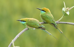 Little Green Bee Eaters (Jawad_Ahmad) Tags: nature naturelover naturephotography natural beautyofnature beautiful colors pair birds bird birdsphotographer birdwatcher wildlife greenbeeeaters sialkot flicker background bokeh pakistan