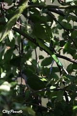 Monk or Quaker parrots (Myiopsitta monachus) (City Parrots) Tags: netherlands argentina nederland parrot monk zeeland parakeet quaker ouddorp cotorra the monachus myiopsitta monniksparkiet cityparrots
