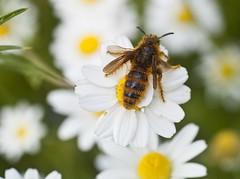This wasp make love with the following Orchid (see next foto) (Karl Hauser) Tags: andalucía spain spanien marbella ciliata dasyscoliaciliata dasyscolia kniebiskarle