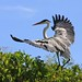 Cocoi Heron landing - Click thumbnail for image options