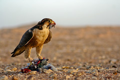 Predator & Prey ( ) Tags: africa me north east falcon prey middle predator libya  lybia libyan libia       panoramafotogrfico     peregrino27newvision
