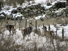 Deer 4/4