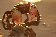 DSC_3673 (nicolasfeir) Tags: las sea beach animal animals rio del river uruguay la mar crab playa punta beaches animales laguna este crabs barra rios ria playas arroyo seas mares rias cangrejos cangrejo pinzas pinza