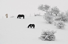 Happy New Year (scuba_dooba) Tags: uk horse snow tree high key north northumberland snowing stocksfield