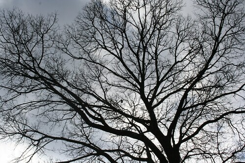 Bare oak and sky