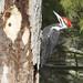 pileated woodpecker (male) von steve courson