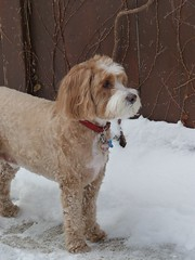 Harvey the Cockapoo ~ On Guard (as usual) (Angie Naron) Tags: snow canine mansbestfriend doginsnow cockapoo spoodle womansbestfriend caninecompanion angienaron harveythecockapoo photobyangienaron