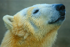 Bianco / White (AndreaPucci) Tags: bear italy zoo italia tuscany toscana orso pistoia canoneos400 canonefs55250f456is andreapucci