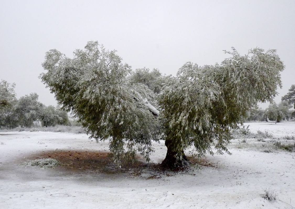 Olivo en la nieve