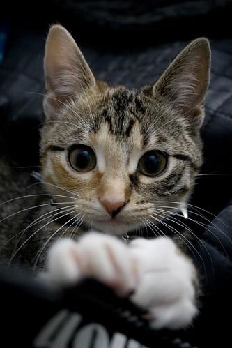 フリー画像| 動物写真| 哺乳類| ネコ科| 猫/ネコ| 三毛猫| 子猫|     フリー素材|