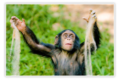 Chimpanzee (Evan Animals) Tags: africa baby cute animal female happy zoo monkey chimp great joy maryland ape pan chimpanzee troglodytes playful primate cuteanimal scimpanz naturesfinest primat chimpanc specanimal anawesomeshot chimpanzeephoto chimpanzeeplaying chimpanzeepicture chimpphoto chimppicture
