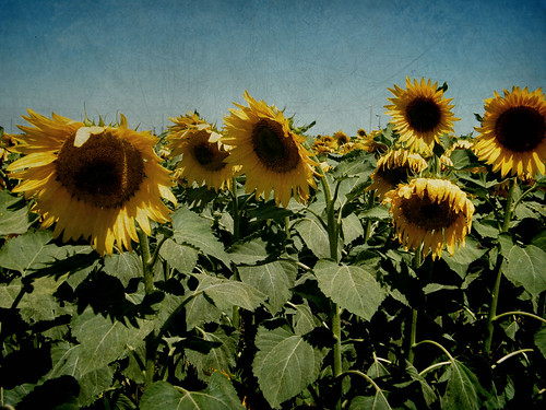 Sunflowers | Girasoles by katiealley on Flickr