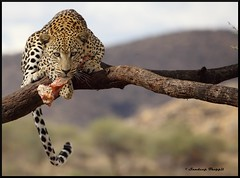 The Untamed Africa - Panthera (Sandeep Thoppil) Tags: africa travel wild beauty animal cat big holidays december colours reserve safari leopard namibia hunt windhoek greatphotographers specanimal flickrbigcats flickraward5