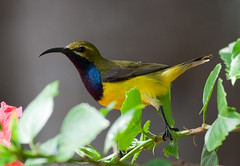 Yellow-bellied Sunbird (petefeats) Tags: male nature birds australia queensland olivebackedsunbird emupark yellowbelliedsunbird