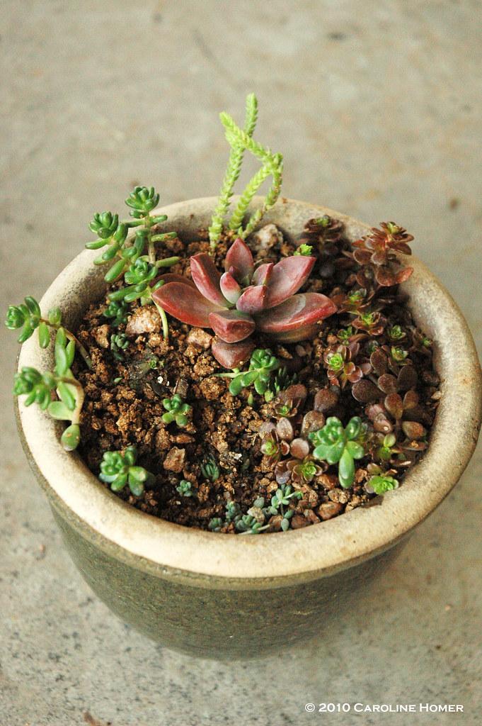 Tiny sedum garden