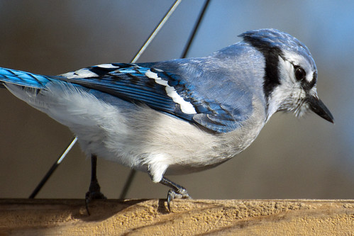 feeder bluejay