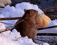 Podgana z majhnim prigrizkom (natalija2006) Tags: nature rat slovenia meal ljubljana slovenija rodentia ljubljanica rattusnorvegicus narava glodalec podgana prigrizek
