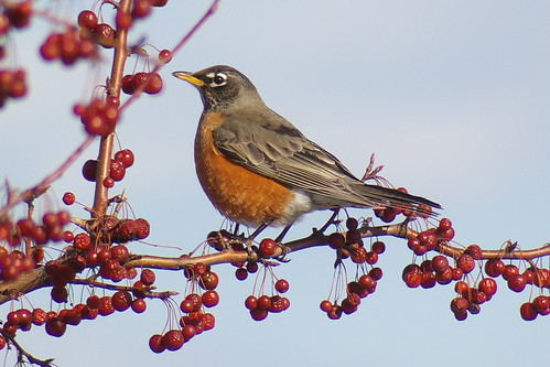 Forget the Groundhog, Let's Ask the Robins!