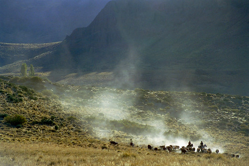 The Cuevas Arreo (Cattle Drive) Arrives.