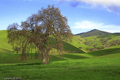 Springtime Oak, Mt. Diablo State Park, California (Della Huff Photography) Tags: california statepark trees tree green northerncalifornia bay spring oak east danville diablo walnutcreek mtdiablo oaks