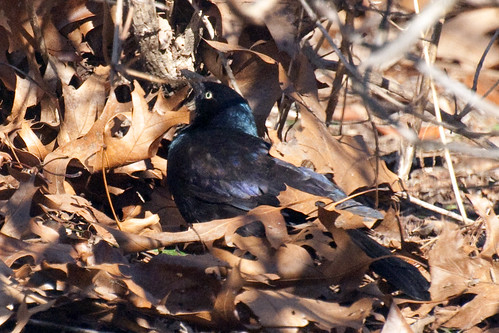 grackle throwing leaves