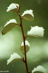 """Sucre glace"" sur Photinia (fabdebaz) Tags: macro vegetation neige 31 distillery bazige 2010 photinia fevrier sudouest hautegaronne lauragais k10d pentaxk10d justpentax baziege"