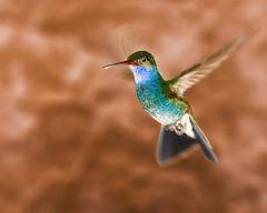 Afloat (Alfredo11) Tags: naturaleza bird art nature fly hummingbird arte action bokeh ave beijaflor vuelo colibri accion pajarillo nikonsb800 pocketwizard nikoncreativelightingsystem nikond3 sigma150500mm nikonsb900 elinchromlite2