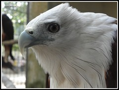 The Eagle Look..[:D] (brainseizer2) Tags: brown white detail nature beautiful freedom pain eyes eagle indian captured bald kerala anger looks closeups focused cochin concentrated