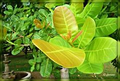 Hojas tiernas de un árbol frutal... P1050049 (gtercero) Tags: 20091219 hojastiernas floraexhuberante municipiocdhidalgo chiapas méxico gtercero