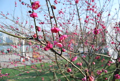 plum blossom / wintersweet / (henry.zhang) Tags: blossom plum wintersweet