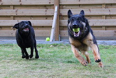 Play ball (sjaradona) Tags: dog dogs garden labrador play belgium rex shephard 2010 kangoo zichem hhanimalsonly dognationalities
