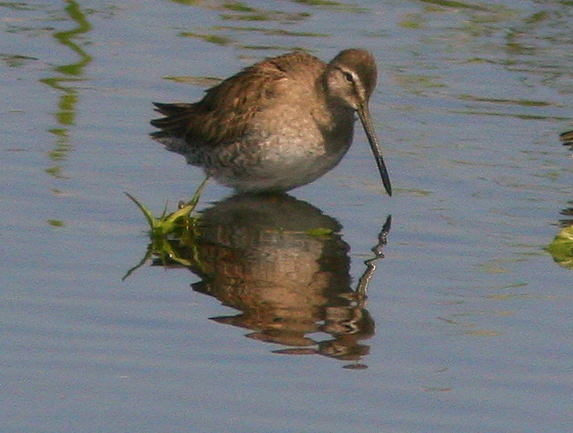 Short-billed Dowitcher 20100215