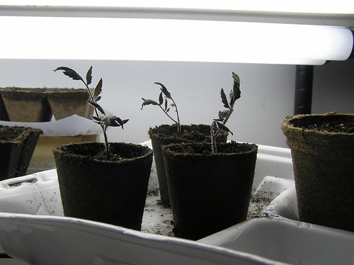 Tomato Seedlings for a Small Kitchen Garden