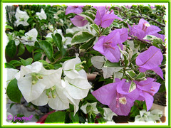 Bougainvillea species: the white is 'Millionaire' and the purple is 'Mrs Eva Mauve Variegata'